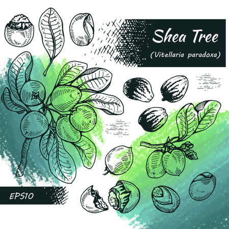 Collection of branch Shea tree with fruits, nuts, leaves and Shea butter. Detailed hand-drawn sketches, vector botanical illustration. For cosmetics, medicine, aromatherapy. For menu, label, packaging design.