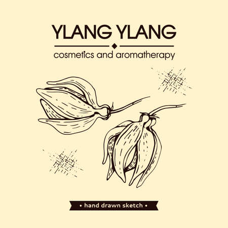Flowers and leaves of ylang-ylang. Detailed hand-drawn sketches, vector botanical illustration. For menu, label, packaging design.