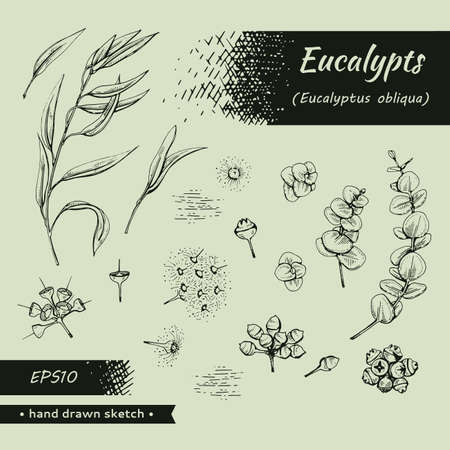 Collection of Eucalyptus leaves, young shoots and branches of eucalyptus with flowers, buds and seeds . Detailed hand-drawn sketches, vector botanical illustration. Illusztráció
