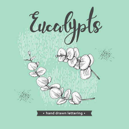 Eucalyptus leaves, Young shoots and branches of eucalyptus, buds and lettering Eucalypts. Detailed hand-drawn sketches, vector botanical illustration. For menu, label, packaging design.