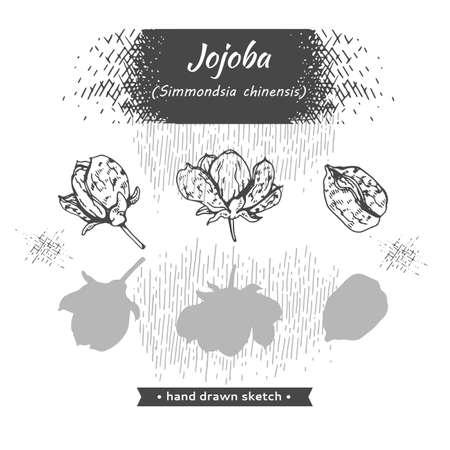 Fruit jojoba in a peel and without . Detailed hand-drawn sketches, vector botanical illustration. Illusztráció