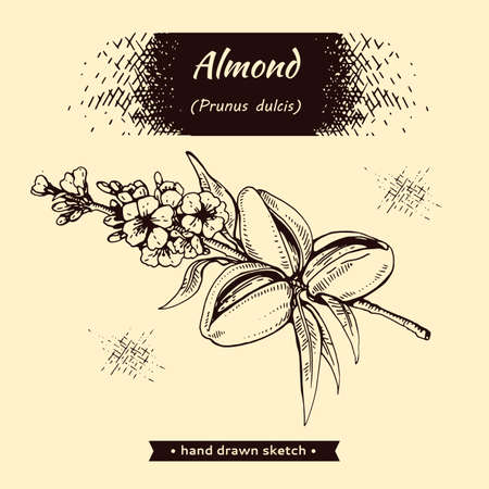 Branch of almonds with nuts, fruits, flowers. Detailed hand-drawn sketches, vector botanical illustration.