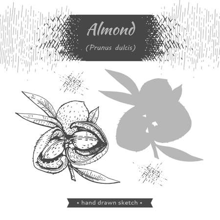 Branch of almonds with nuts, fruits. Detailed hand-drawn sketches, vector botanical illustration. Illusztráció