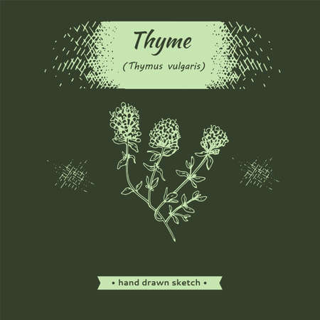 Twig of thyme with leaves and flowers. Detailed hand-drawn sketches, vector botanical illustration. Illusztráció