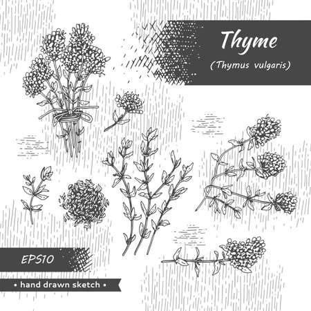 Collection of twig of thyme with leaves and flowers. Detailed hand-drawn sketches, vector botanical illustration. Stock fotó - 158936709
