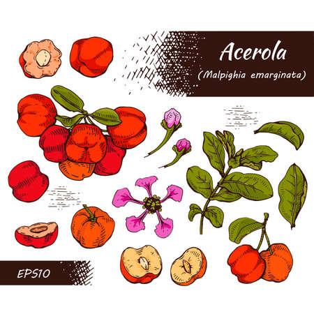 Collection of branch acerola cherry, fruit, flower. Detailed hand-drawn sketches, vector botanical illustration. For menu, label, packaging design.