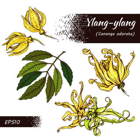 Collection of flowers and leaves of ylang-ylang. Detailed hand-drawn sketches, vector botanical illustration. For menu, label, packaging design. Illusztráció