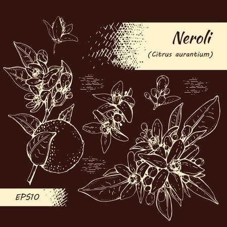 Collection of bitter orange flowers, buds, fruits. Detailed hand-drawn sketches, vector botanical illustration. For menu, label, packaging design. Illusztráció