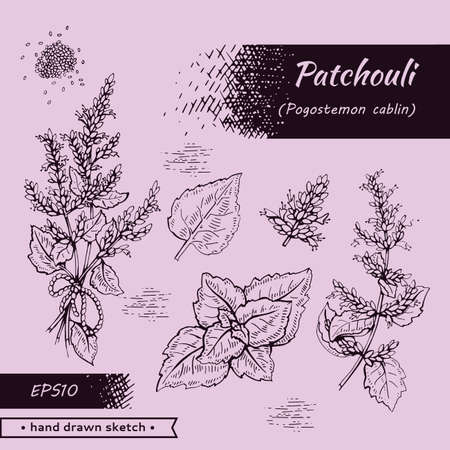 Collection of Patchoulis inflorescences and flowers and branch with leaves. Detailed hand-drawn sketches, vector botanical illustration. For menu, label, packaging design.