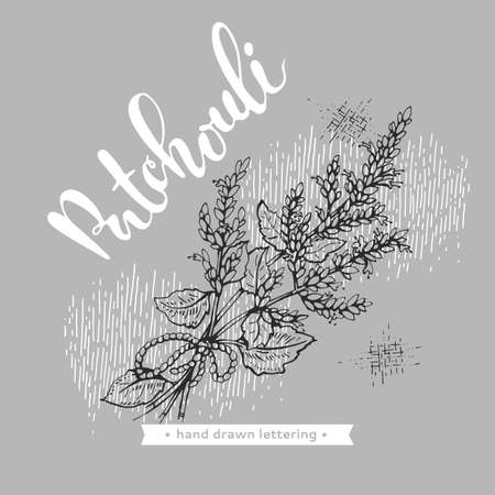 Patchoulis inflorescences and flowers and branch with leaves. Detailed hand-drawn sketches, vector botanical illustration. For menu, label, packaging design.