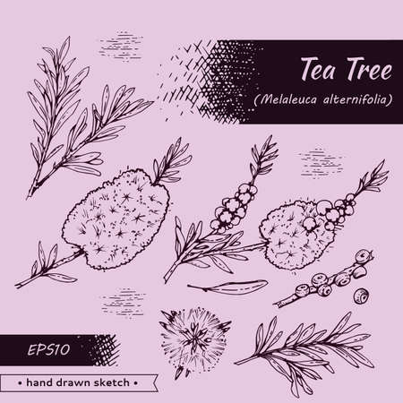 Collection of branches with leaves and flowers of tea tree. Detailed hand-drawn sketches, vector botanical illustration. For menu, label, packaging design.