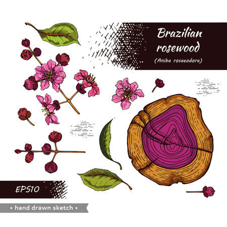 Collection of cut of a Rosewood and twigs with flowers and buds. Detailed hand-drawn sketches, vector botanical illustration. For menu, label, packaging design.