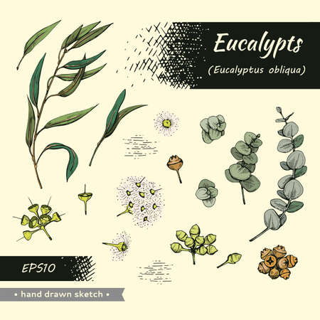 Collection of Eucalyptus leaves, young shoots and branches of eucalyptus with flowers, buds and seeds . Detailed hand-drawn sketches, vector botanical illustration.