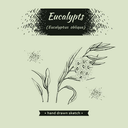 Eucalyptus leaves, young shoots and branches of eucalyptus with flowers, buds and seeds . Detailed hand-drawn sketches, vector botanical illustration.