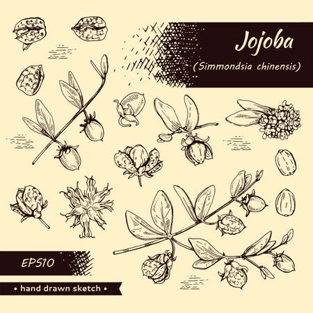 Collection of Jojoba branches with fruits and flowers, leaves. Fruit jojoba in a peel and without . Detailed hand-drawn sketches, vector botanical illustration.