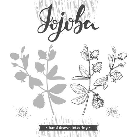 Jojoba branches with fruits and flowers, leaves. Fruit jojoba in a peel and without and lettering Jojoba . Detailed hand-drawn sketches, vector botanical illustration.