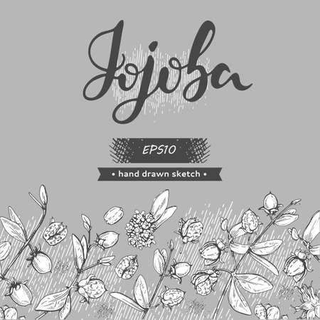 Background with Jojoba branches with fruits and flowers, leaves. Fruit jojoba in a peel and without and lettering Jojoba. Detailed hand-drawn sketches, vector botanical illustration.