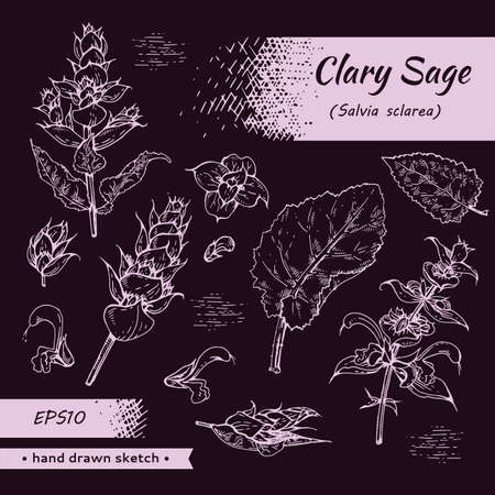 Collection of Clary sage twigs with leaves and flowers . Detailed hand-drawn sketches, vector botanical illustration. Illusztráció