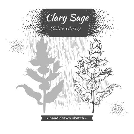 Clary sage twigs with leaves and flowers . Detailed hand-drawn sketches, vector botanical illustration. Illusztráció