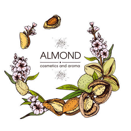 Frame with Almond kernels of nuts and a branch of almonds with nuts, fruits, flowers. Detailed hand-drawn sketches, vector botanical illustration. Vektorgrafik