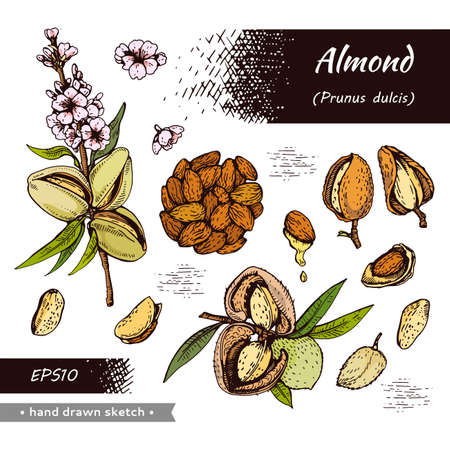 Collection of Almond kernels of nuts and a branch of almonds with nuts, fruits, flowers. Detailed hand-drawn sketches, vector botanical illustration.