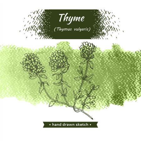 Twig of thyme with leaves and flowers. Detailed hand-drawn sketches, vector botanical illustration. Ilustração