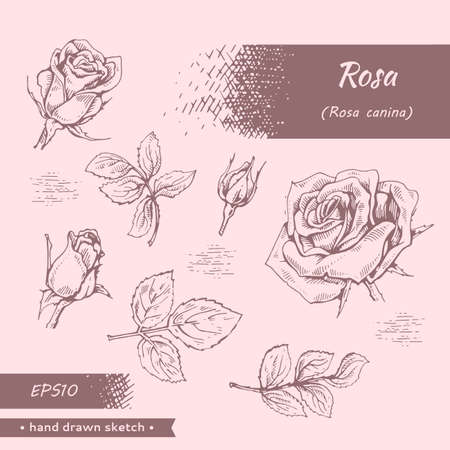Collection of Roses. Detailed hand-drawn sketches, vector botanical illustration.