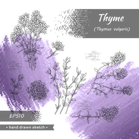 Collection of twig of thyme with leaves and flowers. Detailed hand-drawn sketches, vector botanical illustration. Ilustração