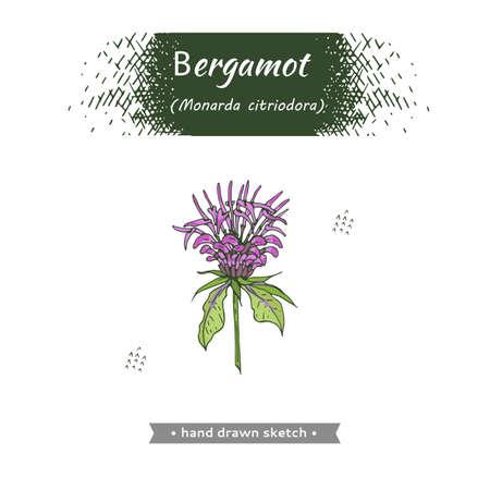 Monarda. Detailed hand-drawn sketches, vector botanical illustration. For menu, label, packaging design.