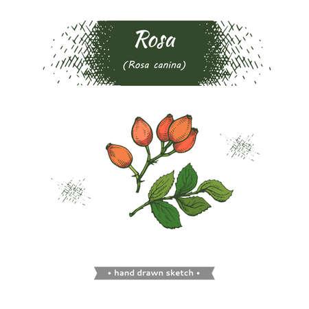 Rosa canina. Detailed hand-drawn sketches, vector botanical illustration.