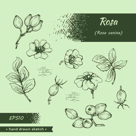 Collection of Rosa canina. Detailed hand-drawn sketches, vector botanical illustration.