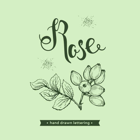 Rosa canina and lettering Rose Detailed hand-drawn sketches, vector botanical illustration.