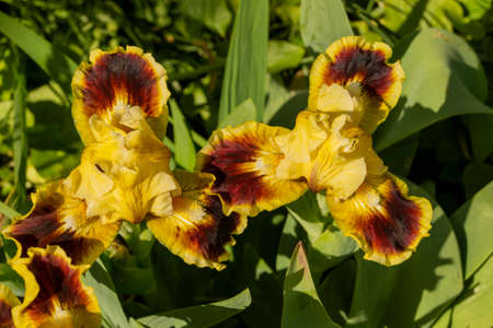 Iris, flower in the garden, ornamental plant for flower beds. Photo in the natural environment.