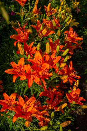 Lily, flower in the garden, ornamental flowerbed. Photo in the natural environment. Stock fotó