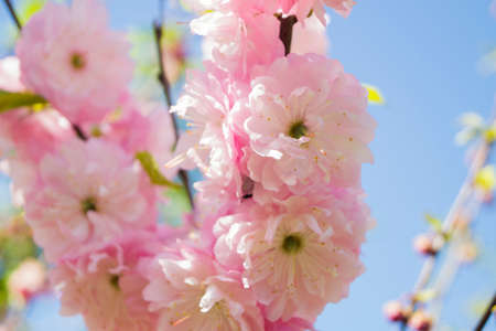 flowering almond flower in the garden, ornamental flowerbed plant. Photo in the natural environment.