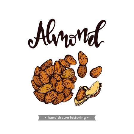 Almond kernels of nuts. Detailed hand-drawn sketches, vector botanical illustration.