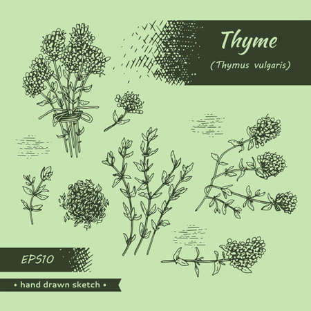 Collection of twig of thyme with leaves and flowers. Detailed hand-drawn sketches, vector botanical illustration. Illusztráció