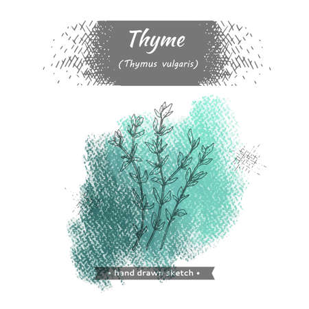 Bunches of sprig of thyme with leaves and flowers. Detailed hand-drawn sketches, vector botanical illustration.