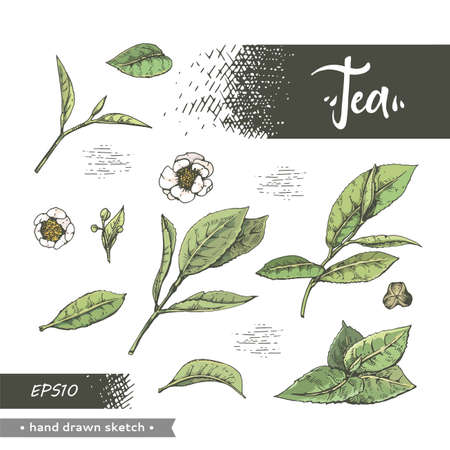 Hand-drawn sketch tea leafs and flowers, vector illustration.