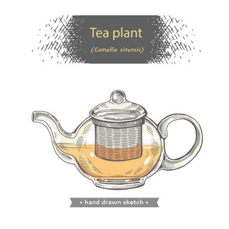 Hand-drawn sketch teapot with camellia sinensis, vector illustration.