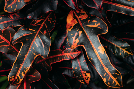 Summer tropical background. Beautiful black and red ornamental leafy plants in the house garden