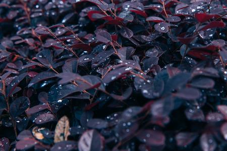 Summer tropical background. Beautiful plants in the house garden. Purple Daydream Dwarf Loropetalum.