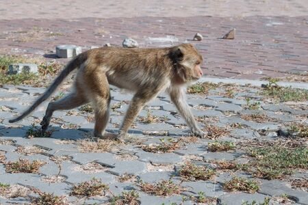 Wild Macaque on the road in Prachuap Kiri Khan Stok Fotoğraf