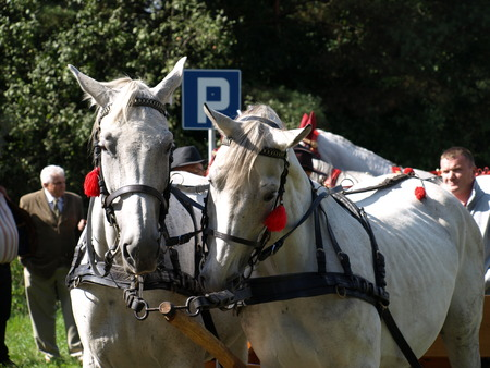 blinders: Mikstat Poland - September 5, 2010: District harvest festival. Preparation for the parade horse-drawn vehicles. White, decorated horses pulling carriages.