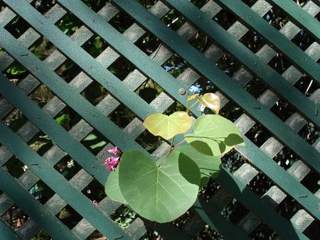 grew: A branch with green leaves grew through green fence Stock Photo