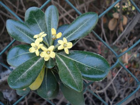 grew: A branch with small yellow flowers grew through the fence Stock Photo