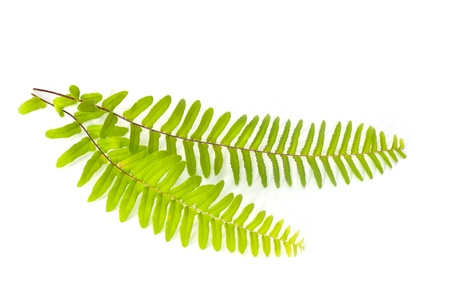 Fern leaf photo