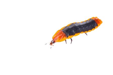 glowworm: Giant Firefly