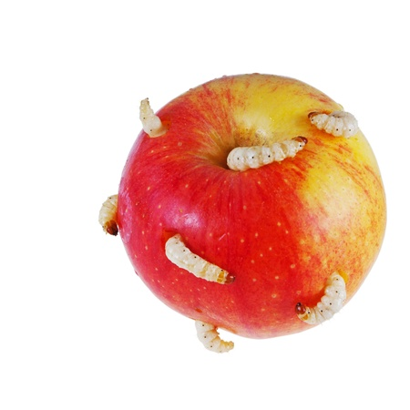 Apple maggots  photo