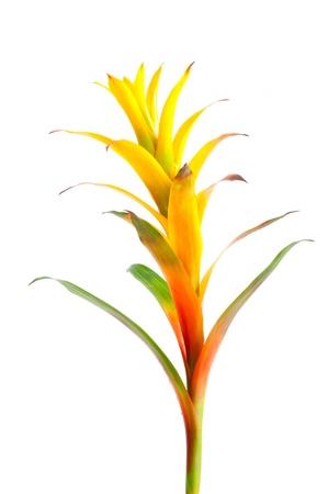 bromeliad: Bromeliad